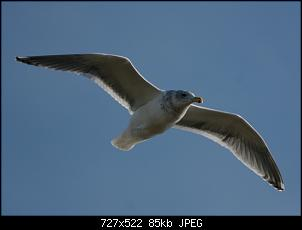 Click image for larger version.  Name:seagull1-1-07.jpg Views:380 Size:84.8 KB ID:62324