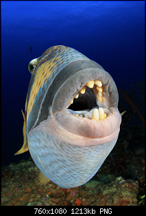 Click image for larger version.  Name:Titan Triggerfish.png Views:155 Size:1.18 MB ID:106885