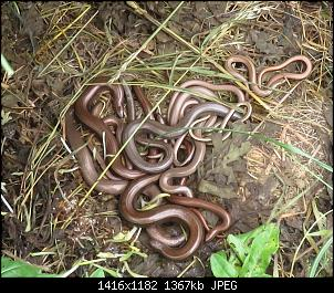 Click image for larger version.  Name:SlowWorms_4607.jpg Views:779 Size:1.34 MB ID:76898